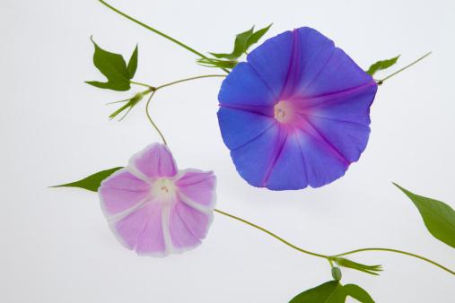 朝顔「Purple Morning Glory Flowers」:スマホ壁紙(16)