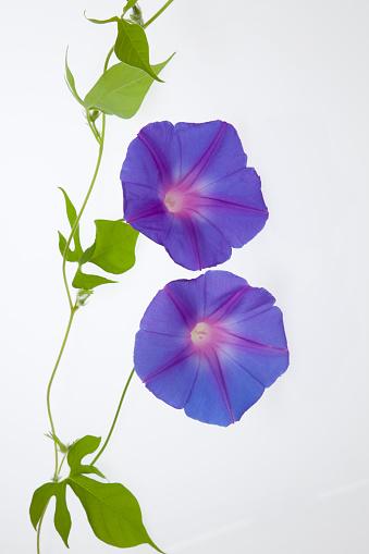 朝顔「Purple Morning Glory Flowers」:スマホ壁紙(19)
