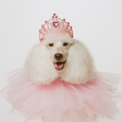 Tiara「White poodle wearing pink tiara and pink ruffle, close-up」:スマホ壁紙(19)