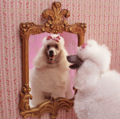 Kitsch「White poodle with reflection in  mirror in pink dressing room」:スマホ壁紙(18)
