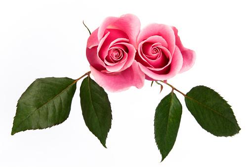 バラ「ピンクローズと葉」:スマホ壁紙(12)