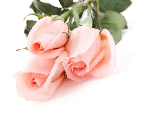 とげのある「Pink Roses on White Background」:スマホ壁紙(18)