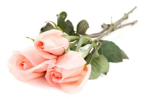 とげのある「Pink Roses on White Background」:スマホ壁紙(19)