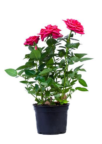 Branch - Plant Part「Pink roses in a black flower pot on white background」:スマホ壁紙(6)