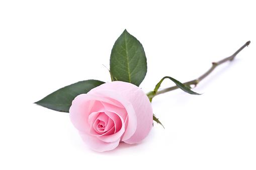 薔薇「ピンクのバラ(XL」:スマホ壁紙(13)
