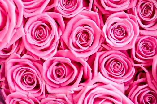 薔薇「ピンクのバラデュー」:スマホ壁紙(17)