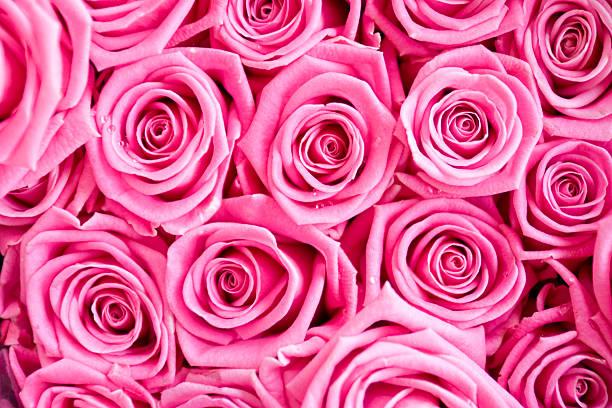 ピンクのバラデュー:スマホ壁紙(壁紙.com)