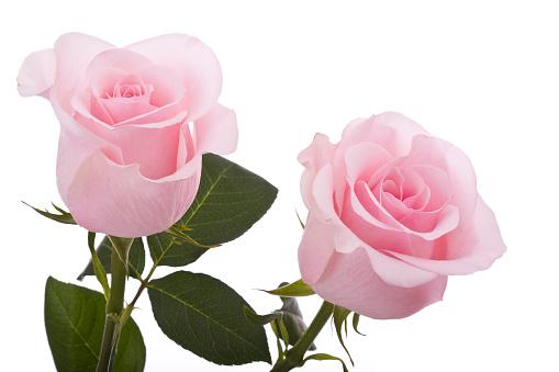 ピンク色「ピンクのバラ(XL」:スマホ壁紙(18)