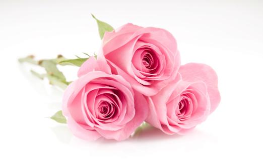 薔薇「ピンクのバラ」:スマホ壁紙(17)