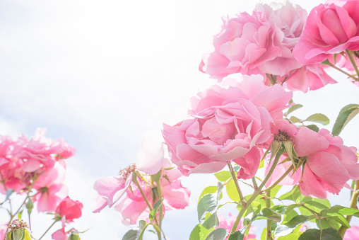 France「Pink roses in nature, strong backlight」:スマホ壁紙(4)