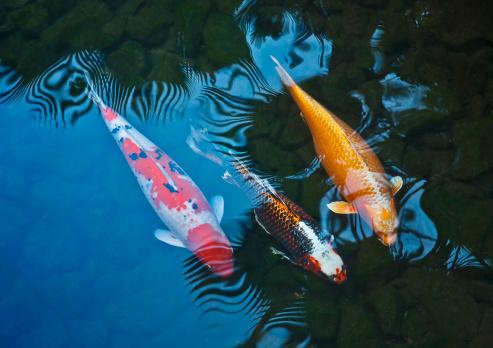Koi Carp「Koi fish」:スマホ壁紙(15)