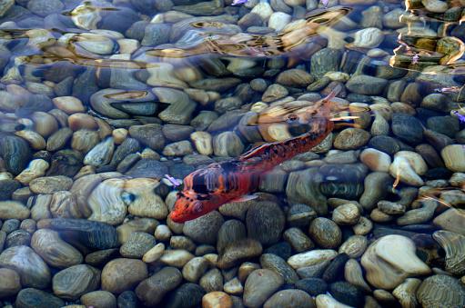 Carp「koi fish」:スマホ壁紙(1)