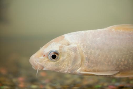 Carp「Koi fish」:スマホ壁紙(0)