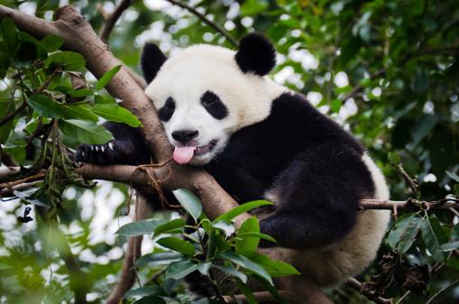 Panda「Panda with Tongue Out」:スマホ壁紙(1)