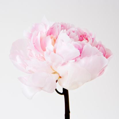 Petal「Peony flower in bloom」:スマホ壁紙(15)