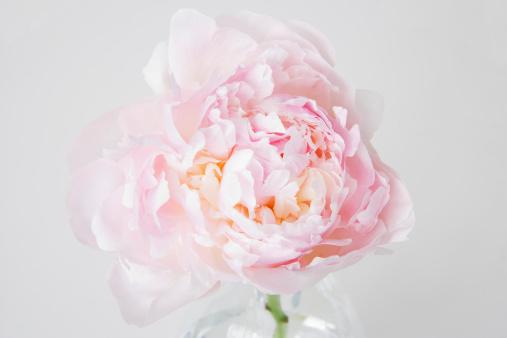 花「Peony flower in bloom」:スマホ壁紙(1)