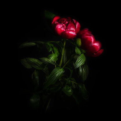 Isolated Color「Peony flower isolated on black background」:スマホ壁紙(9)