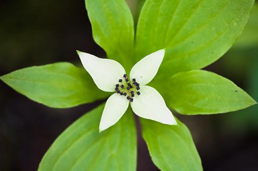 Joffre Lakes Provincial Park「A white bunchberry (cornus canadensis) flower shows symmetry」:スマホ壁紙(9)
