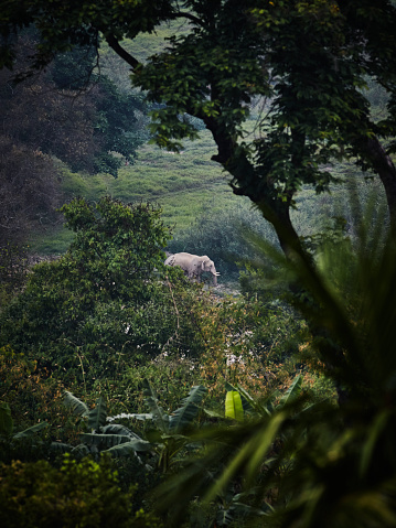 Focus On Background「Male Asian elephant standing in forest in Chiang Rai Thailand」:スマホ壁紙(14)