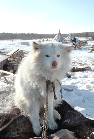 One Animal「The Nenets - nomad tribes from Siberia」:写真・画像(4)[壁紙.com]