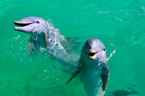 Bottle-nosed Dolphin「Mexico, Isla Mujeres, Bottle-nosed dolphins」:スマホ壁紙(8)