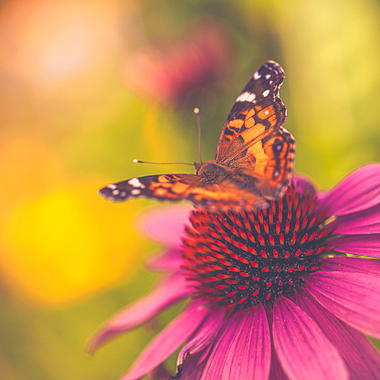 Inflorescence「Beautiful echinacea coneflower with butterfly and bokeh」:スマホ壁紙(11)