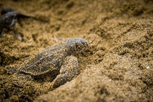 Green Turtle「Turtle Hatchling Leaving the Nest」:スマホ壁紙(10)