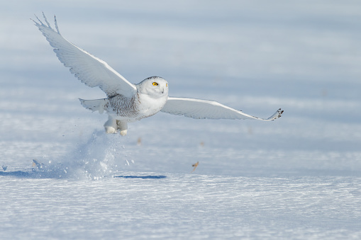 Animal Wing「Snowy owl taking off in the snow, Montreal, Quebec, Canada」:スマホ壁紙(11)