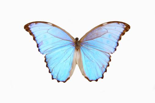 Morpho Butterfly「Blue Morpho butterfly」:スマホ壁紙(4)