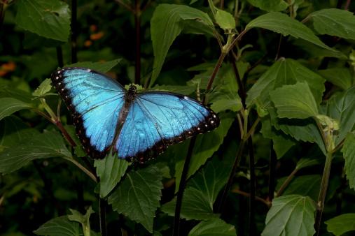 Amazon Rainforest「Blue Morpho Butterfly」:スマホ壁紙(13)