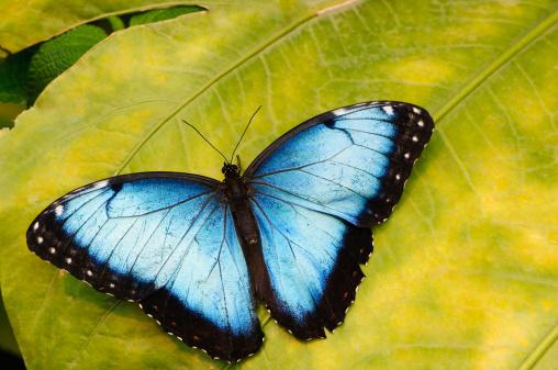 Morpho Butterfly「Blue morpho butterfly on tropical leaf」:スマホ壁紙(11)