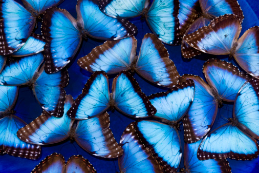 Morpho Butterfly「Blue Morphos floating in water Morpho peidides」:スマホ壁紙(7)