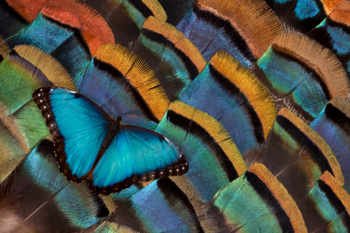 Turkey - Bird「Blue Morpho Butterfly on Oscellated Turkey Feather」:スマホ壁紙(15)
