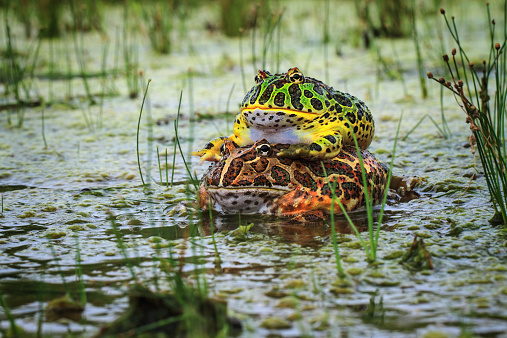Animals In The Wild「Toads mating in pond, Indonesia」:スマホ壁紙(7)