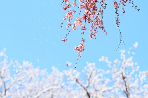 梅の花「Snow on plum blossoms」:スマホ壁紙(2)