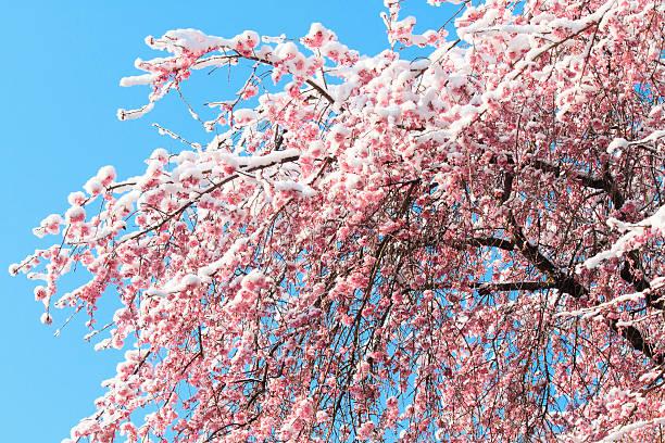Snow on plum blossoms:スマホ壁紙(壁紙.com)