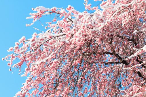 梅の花「Snow on plum blossoms」:スマホ壁紙(12)