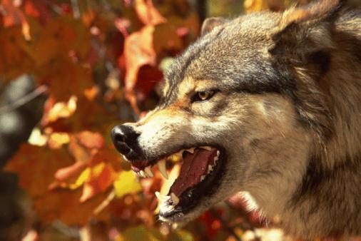 Wolf「Grey wolf scowling」:スマホ壁紙(5)