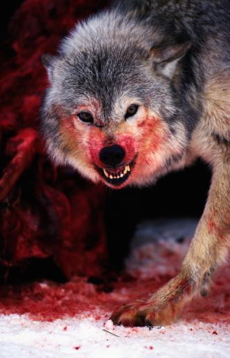 Eating「Grey wolf (Canis lupus) snarling over fresh kill」:スマホ壁紙(1)