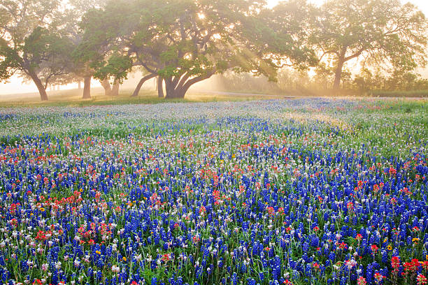 Oak trees and wildflowers in fog with streaming sun rays:スマホ壁紙(壁紙.com)