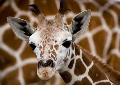 Giraffe「ベビージラフの前に母」:スマホ壁紙(11)