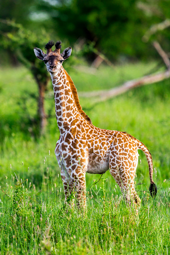 Eco Tourism「Baby giraffe like a toy with umbilical cord」:スマホ壁紙(8)