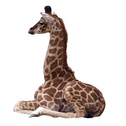 Giraffe「baby giraffe」:スマホ壁紙(6)