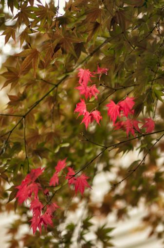 Japanese Maple「Spring Color on Maple Trees」:スマホ壁紙(15)