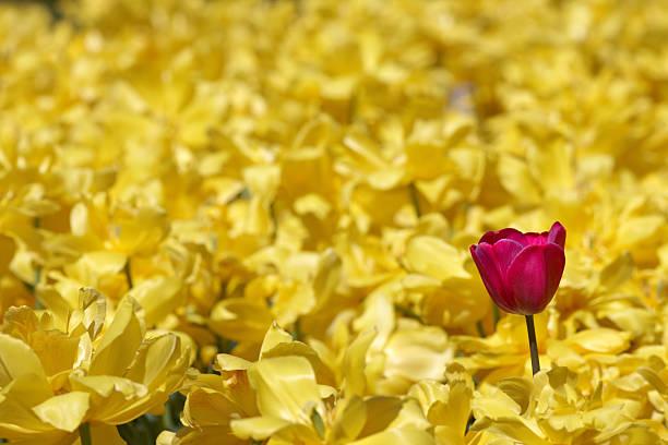 single purple tulip in field of yellow daffodils:スマホ壁紙(壁紙.com)