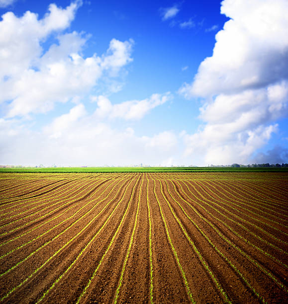 Corn field and blue sky over horizon.:スマホ壁紙(壁紙.com)