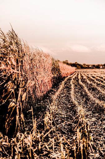 Hair Stubble「Corn field」:スマホ壁紙(7)