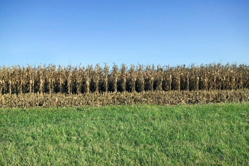 Hair Stubble「Corn field and green grass」:スマホ壁紙(5)