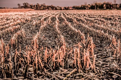 Hair Stubble「Corn field」:スマホ壁紙(10)