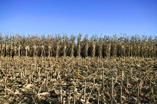 Hair Stubble「Corn field at harvest」:スマホ壁紙(2)
